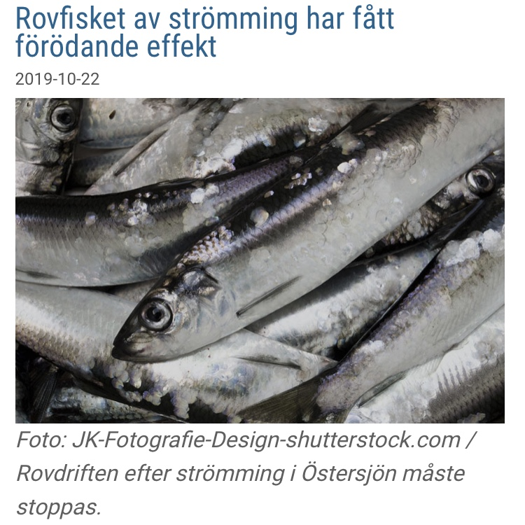 Nyhet: Rovfisket av strömming har fått förödande effekt