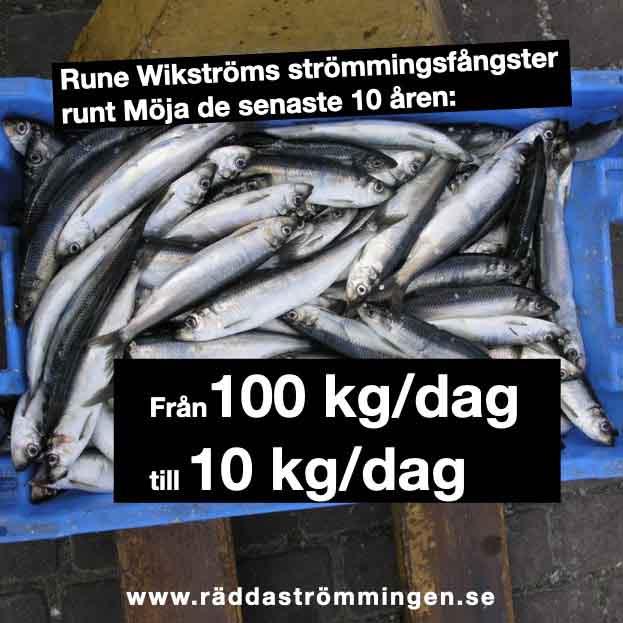 Rune Wikströms strömmingsfångster