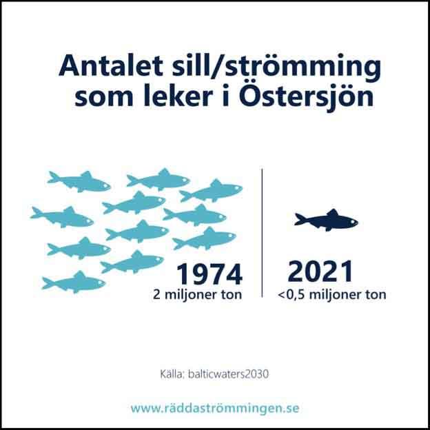 Antalet strömming som leker i Östersjön